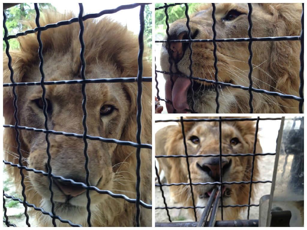 ライオン餌やり2