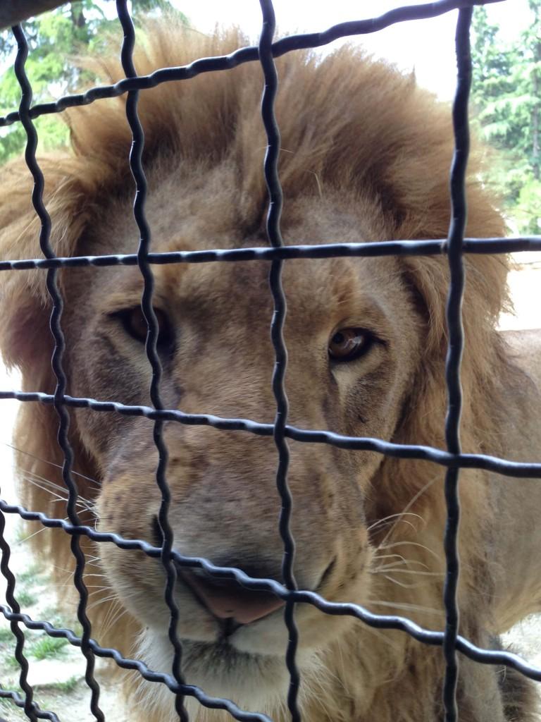 ライオン餌やり