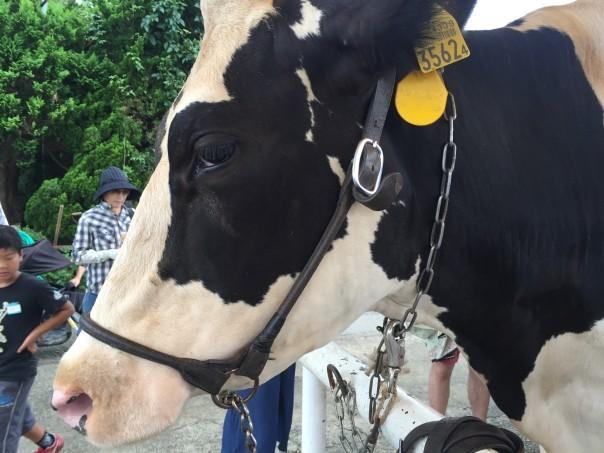 マザー牧場の乳牛