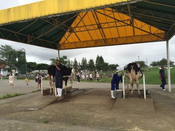 マザー牧場乳牛乳搾り