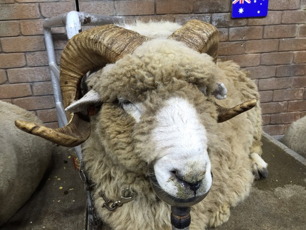 シープショーの可愛い羊