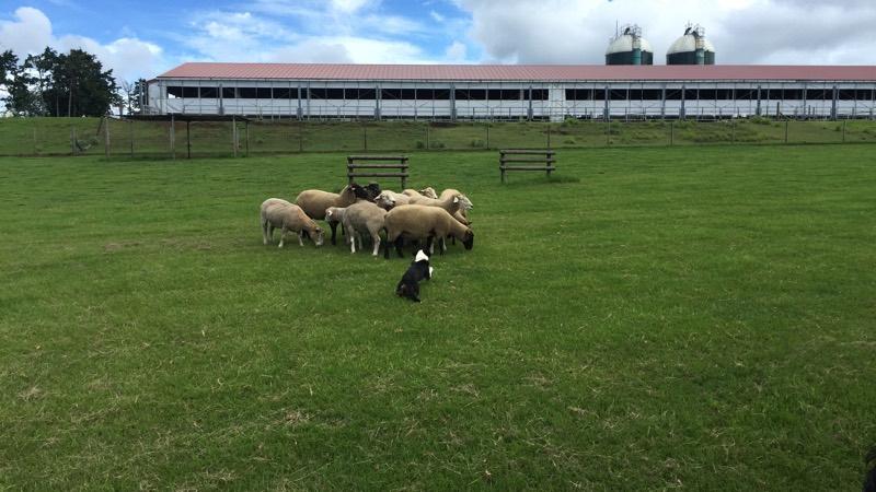 牧羊犬が羊を睨む